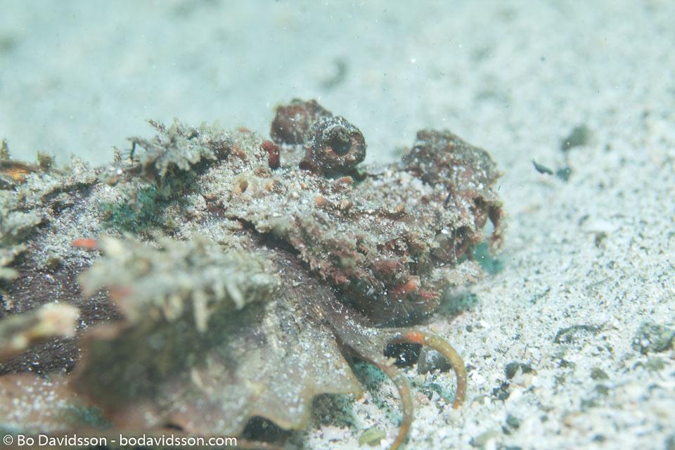 BD-111129-Raja-Ampat-5569-Scorpaenopsis-venosa-(Cuvier.-1829)-[Raggy-scorpionfish].jpg